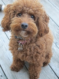 Double doodle ( goldendoodle and labradoodle mix) My