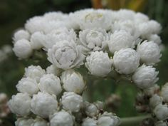 Pearly Everlasting, Anaphalis
