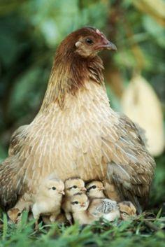Poulet et poussins