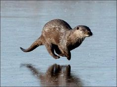 Eeeeee! You rarely see a pic of an otter like this river otter running.