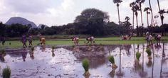 https://flic.kr/p/7FWBfe | India, Tamil Nadu | Women planting rice in a beautifully located paddy in rural Tamil Nadu.