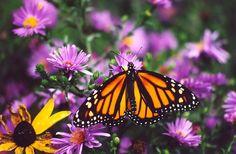 Monarch on Purple Asters c2000 / Melanie Petridis