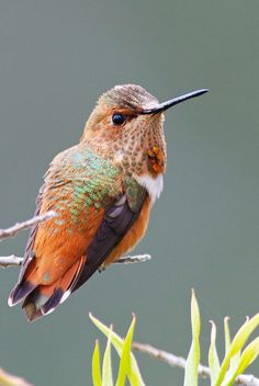 This tiny little Allen hummingbird is a fierce defender of it's territory