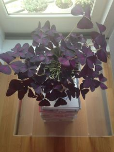 There is nothing like having luscious houseplants at home. There are so many choices when it come to houseplants. One of the most popular is croton houseplants. Hydrangea Potted, Hydrangea Landscaping, Hydrangea Garden, Yard Landscaping, Indoor Tropical Plants, Potted Plants Patio, Ivy Plants, Ivy Houseplant, Houseplants