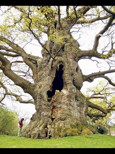 The yawning tree.- Champion trees of Britain and Ireland -  Article from telegraph.co.uk Read it  Great old trees are vital to our landscape – a new handbook helps us to understand why.