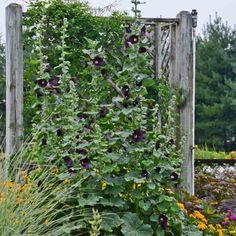 Alcea rosea 'Blacknight',Hollyhock 'Blacknight', Tall Perennial, Black flowers, Black Alcea, Black Hollylock