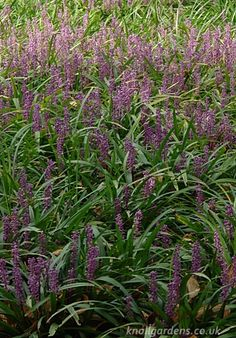 Liriope Ingwersen | Knoll Gardens | Ornamental Grasses and Flowering Perennials