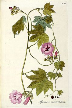 SIL7-54-11 by Smithsonian Libraries on Flickr.    The giant potato (Ipomoea mauritiana) is a type of morning glory plant. Wikipedia
