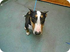 Miami, FL - Bull Terrier. Meet CHICA a Dog for Adoption.