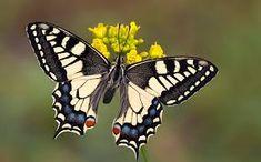 Risultati immagini per farfalle immagini