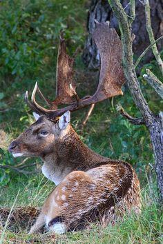 Fallow Deer - New Zealand Big Deer, Moose Deer, Deer Hunting, Deer Pictures, Animal Pictures, Majestic Animals, Animals Beautiful, Large Animals, Animals And Pets