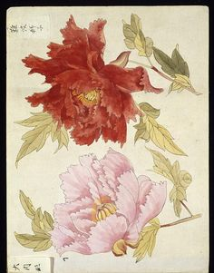 Pap, Japan, paintings and drawings, page from an album of 50 leaves, Botan-fu, collection of studies of peony blossom