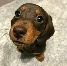 Discover The Cute Dachshund Puppy Grooming Dachshund Facts, Dachshund Funny, Dachshund Puppies, Weenie Dogs, Dachshund Love, Dogs And Puppies, Funny Puppies, Brown Dachshund, Doggies
