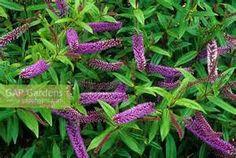 GAP Gardens - Hebe 'Midsummer Beauty' - Image No: 0145422 - Photo by ...