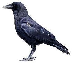 Google Image Result for http://www.birds.cornell.edu/crows/AP%2520HART93%252020Mar10%2520cutout_kjm5340.png