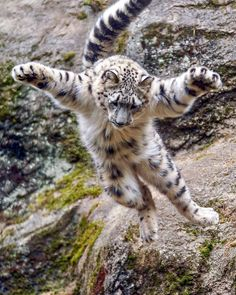Snow leopard cub in the midst of a flying leap! Cute Baby Animals, Animals And Pets, Funny Animals, Wild Animals, Big Cats, Cool Cats, Cats And Kittens, Serval, Beautiful Cats