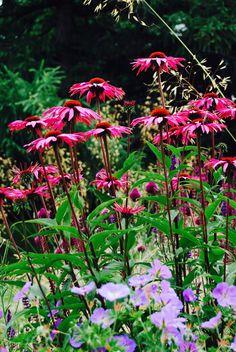 Echinacea Rubinstern, Geranium Jolly Bee and Salvia Nemerosa Caradonna.  Designed by Carolyn Grohmann, www.secretgardensdesign.co.uk