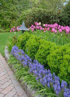 Grape hyacinth, boxwood and tulips