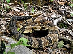 Largest Copperhead On Record | Timber Rattlesnake ...