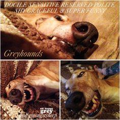 ...... Greyhound Art, Italian Greyhound, Racing Dogs, Lurcher, Grey Hound Dog, Whippets, Greyhounds, Four Legged, Super Funny