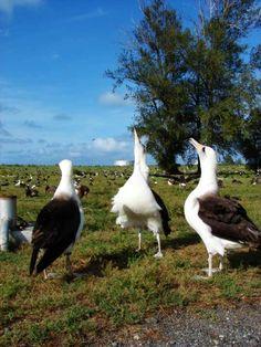 Colonia di albatri di Laysan a Midway #AnimaliVolanti