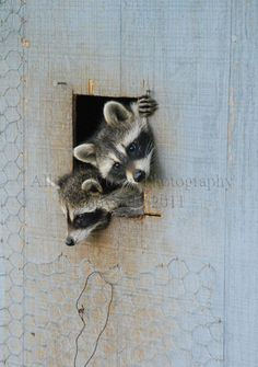 Two Curious Coons  Missouri Ozarks Raccoon by allisonwilsonphotos, $20.00