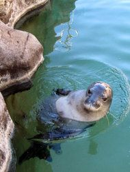 Hawaiian Monk Seals are extremely endangered.