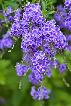 Duranta tree with beautiful purple blooms