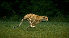 Course du guépard en slow motion [video] [GIF] - http://www.2tout2rien.fr/course-du-guepard-en-slow-motion-video-gif/
