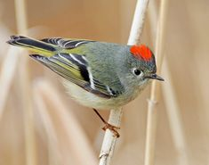 Ruby Crowned Kinglet -  One of North America's smallest birds, it can be recognized by its constant wing-flicking. The male shows its red crown only infrequently. Photo © Ken Schneider
