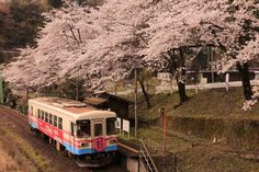 Visited the Tarumi railway in April 2014. Cherry blossoms in full bloom time to visit this year was a pleasure.