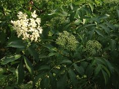 Elderberry- Native plant at Montfair. The birds love the berries!