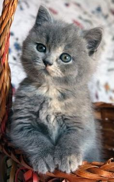 Adorable Grey White Kitten