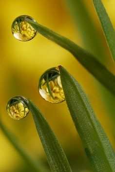 These dewdrops show water's cohesive abilities. Since the blades of grass have a waxy, nonpolar coating, the water does not react and beads up.