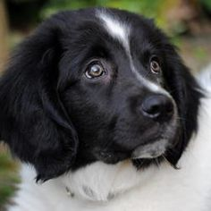 friese stabij pups - Google zoeken