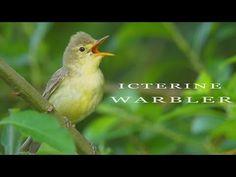 Icterine warbler - the best european mockingbird. Nature Story, Bird Calls, Bird Gif, Spring Forest, Tiny Bird, Music Heals, Animal Species, Habitats, Bird Videos