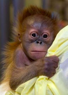 This male baby Sumatran Orangutan was born on January 10 at Zoo Atlanta by Caesarian section, which is quite unusual -- it was one of only three to be performed on Sumatran Orangutans in recent years. You can read all...
