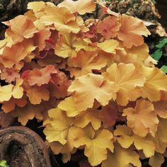 Heuchera Caramel. Fancy gold and apricot foliage adds color to beds and borders from early spring through fall. Unlike most heucheras, Caramel grows in both sun and shade