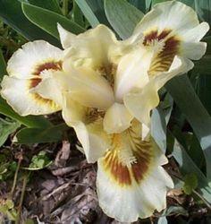 Brown Eyes Cream Brown Dwarf Bearded Iris Combined Shipping | eBay.  --   --  NE part of yard center of the 3 irises