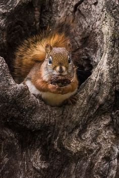 Red Squirrel-2.jpg | by robertbriggs2