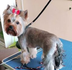 Choosing a grooming style for your female Yorkie? Take a look at these 20 female Yorkie haircuts for your inspiration. Yorkie Terrier, Yorkie Puppy, Terrier Dogs, Yorkshire Terrier Haircut, Yorkshire Terriers, Yorkies, Yorkie Cuts, Yorkie Hairstyles, Puppy Haircut