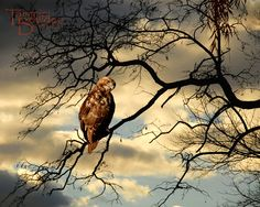 """Red Tailed Hawk"" 8x10 photograph by Tammie Bowden"