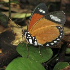 Eleus Orange Forester (Euphaedra eleus) side view