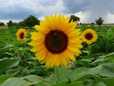 sunflowers - Google Search