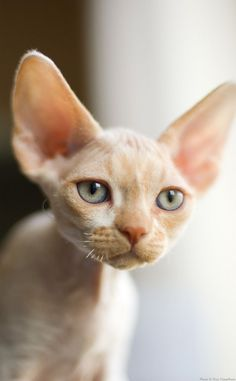 Devon Rex - so cute! Pretty Cats, Beautiful Cats, Animals Beautiful, Cute Animals, Pretty Kitty, Cute Cats And Kittens, Cool Cats, Kittens Cutest, Gato Animal