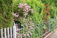 Sichtschutz mit bunter Blütenhecke - hier sieht man auch, wie schön es aussieht, wenn Zaun und Hecke harmonieren. http://www.hobbygarten.de/gartengestaltung/hecke-rankgitter-sichtschutz/