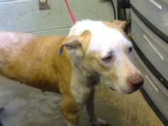 Mumps - URGENT - Dekalb County Animal Shelter in Decatur, Georgia - ADOPT OR FOSTER - 5 year old Female Retriever Mix