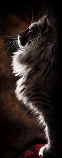 Аватар вконтакте Пушистый кот в профиль (© zmeiy), добавлено: 18.01.2015 10:47
