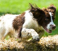 English springer Spaniel! What a hike!