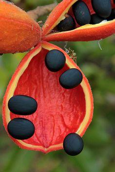 Sterculia quadrifida Sterculiaceae Peanut Tree 0812 09 AIMS | Flickr - Photo Sharing!